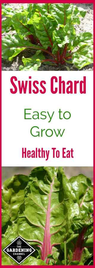 Growing Swiss Chard in the Home Garden