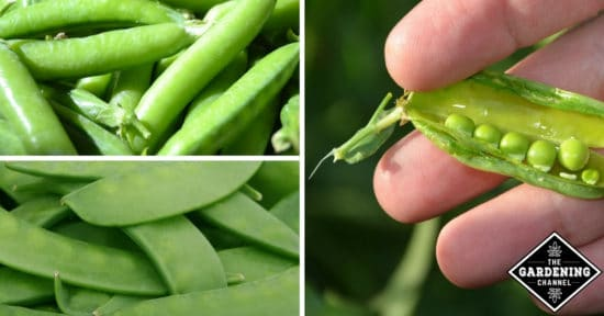 Growing Peas in the Home Garden