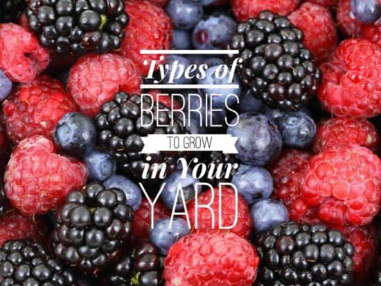 Berries to Grow in Your Kitchen Garden