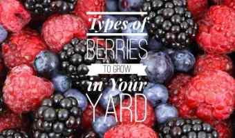 Growing Berries in the Kitchen Garden