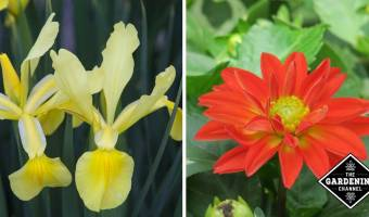 dahlia and iris perennial plants