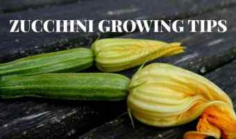 Everyone Can Grow Zucchini