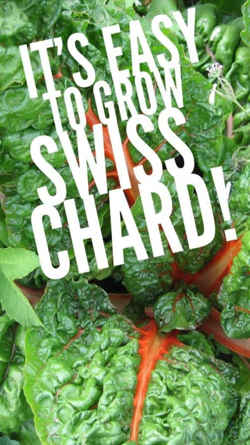 pinterest pin easy to grow swiss chard in the garden