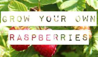 growing your own raspberries