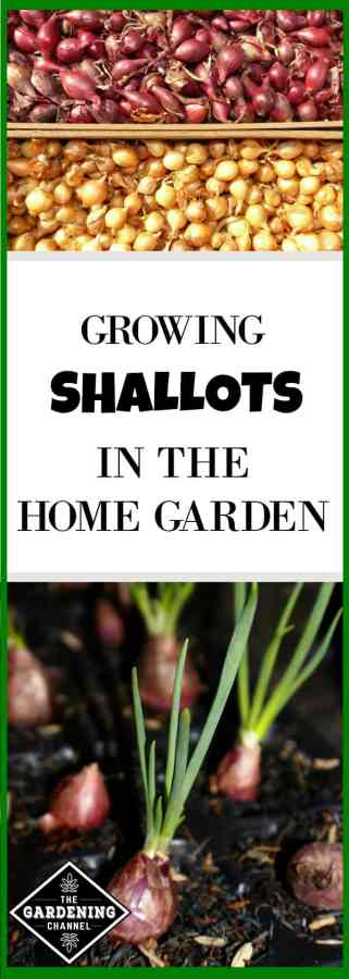 how to grow shallots in the home garden