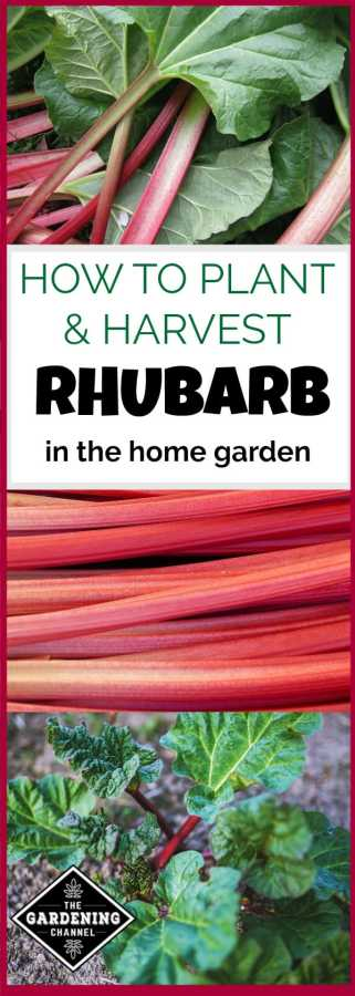 Rhubarb For The Home Garden Gardening Channel