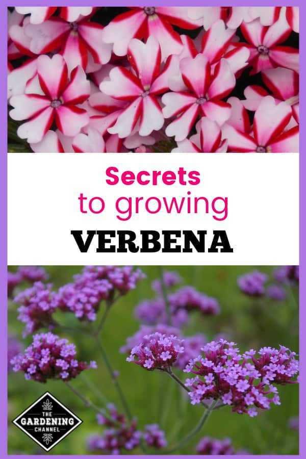 peppermint verbena and purple verbena with text overlay secrets to growing verbena