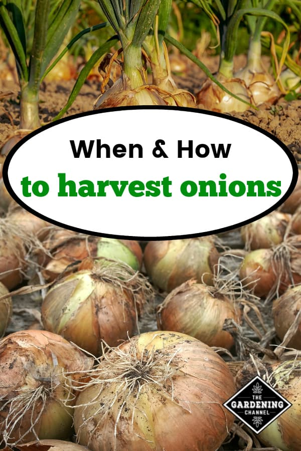 onions in garden and harvested onions with text overlay when and how to harvest onions