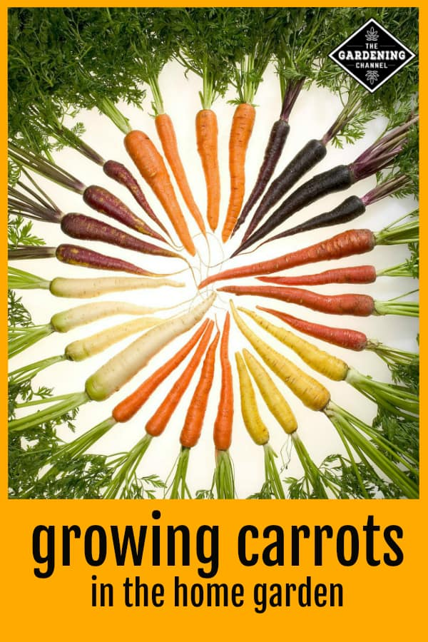 rainbow carrots with text overlay growing carrots in the home garden
