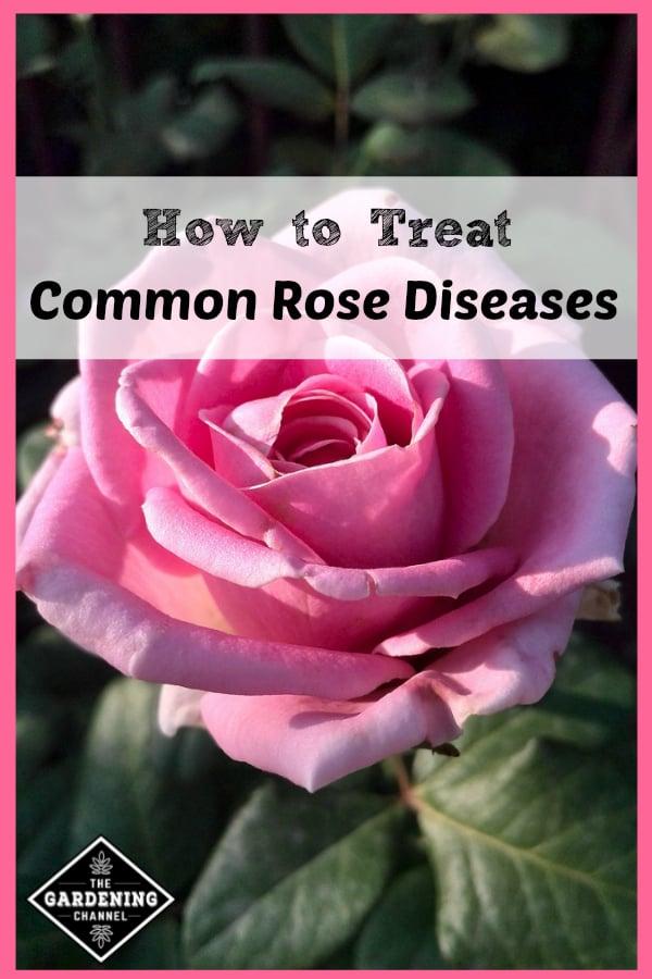 close up of pink rose with text overlay how to treat common rose diseases