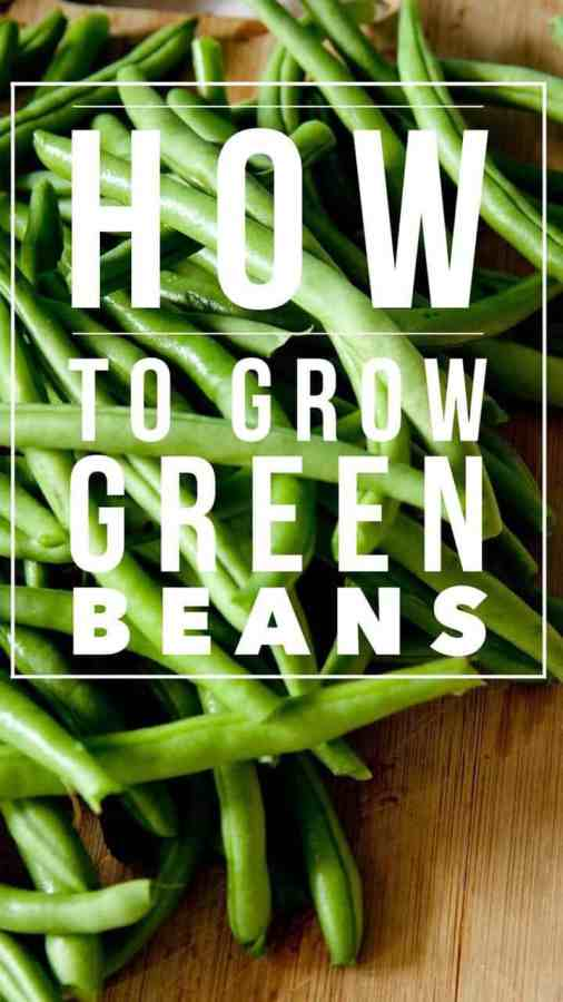 Learn how to grow green beans in the vegetable garden