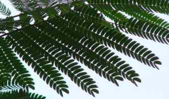 Growing a Mimosa Tree