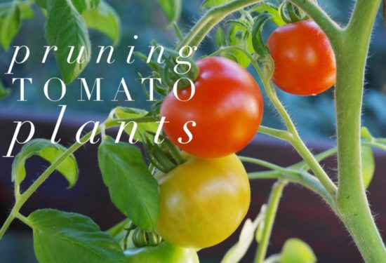 How To Prune Tomato Plants For A Successful Crop Gardening Channel