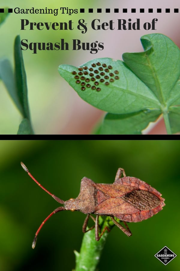 squash bug eggs and squash bug with text overlay gardening tips prevent and get rid of squash bugs