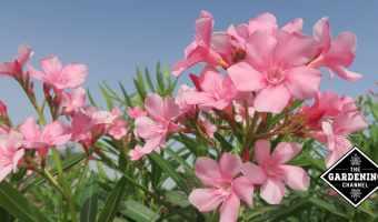 How to Grow Oleander