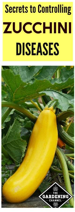 zucchini diseases