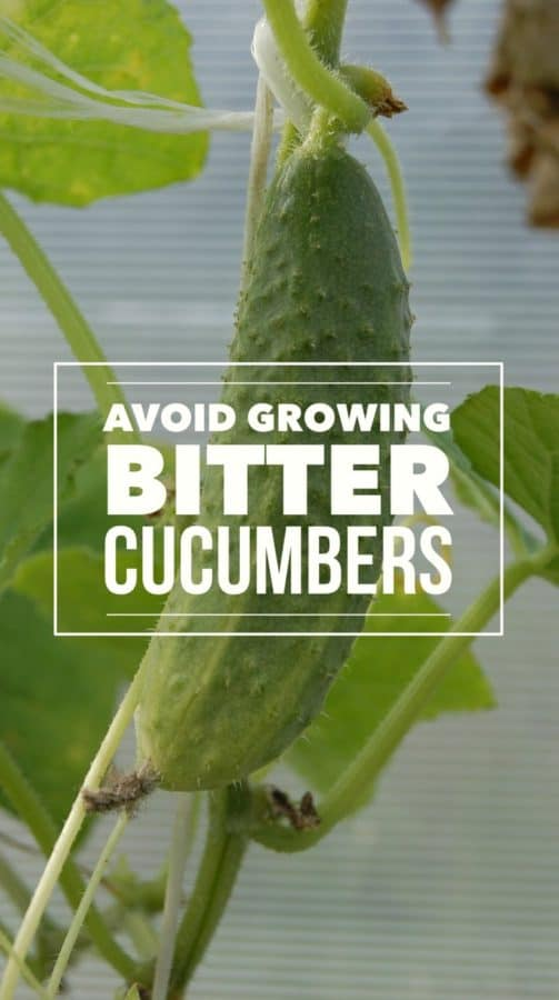 Tips to help avoid growing bitter cucumbers