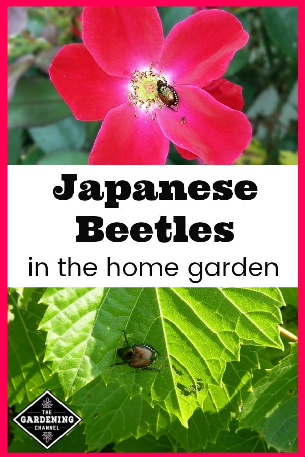 japanese beetle on flower and japanese beetle eating leaf with text overlay japanese beetles in the home garden