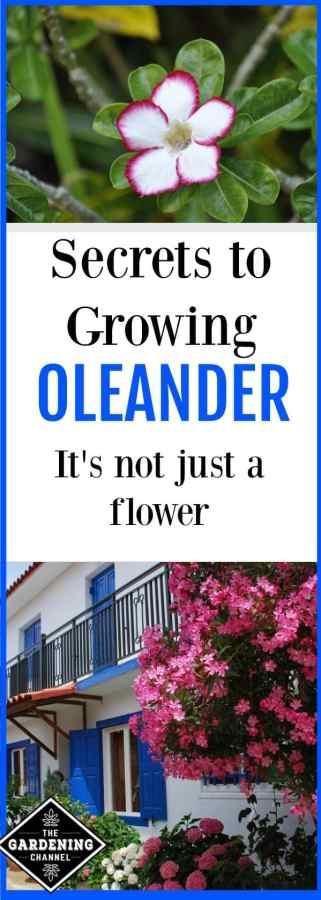 growing oleander