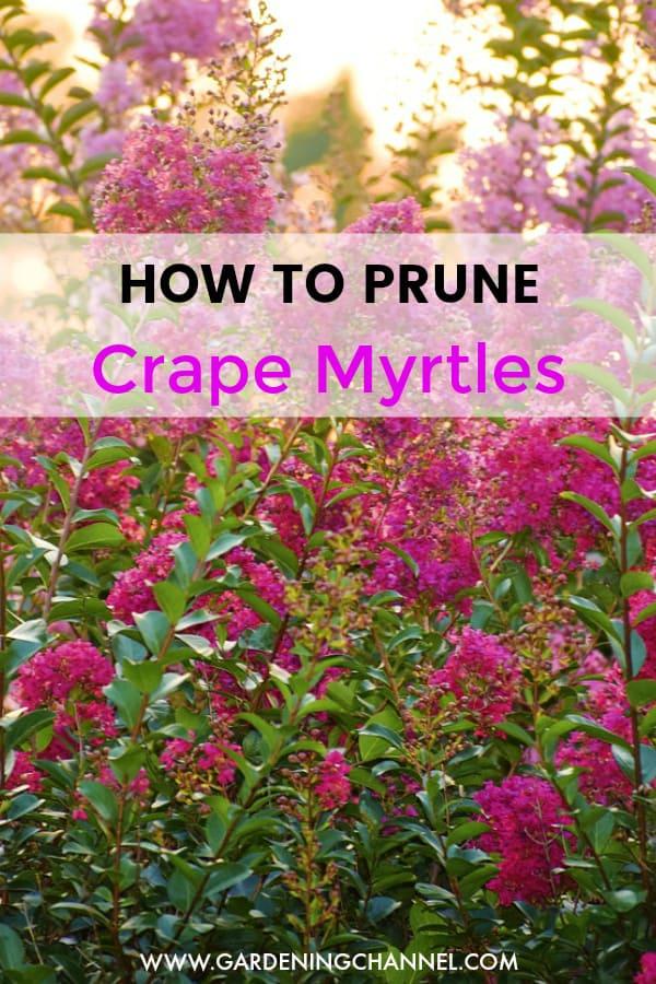 crape myrtles with text overlay how to prune crape myrtles