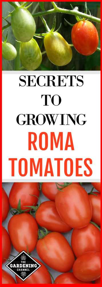 roma tomatoes growing in the garden and roma tomato harvest with text overlay secrets to growing roma tomatoes