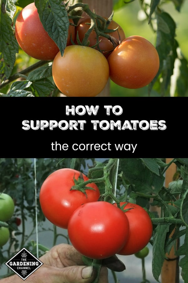 tomatoes growing in garden with text overlay how to support tomatoes the correct way