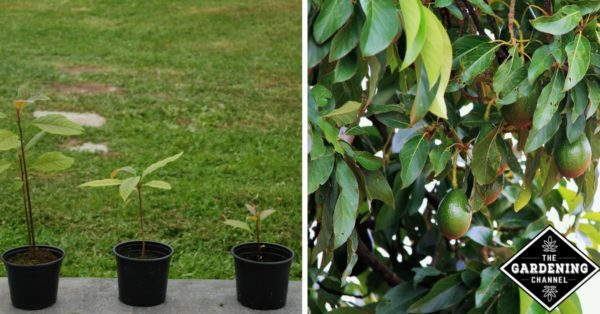 Avocado Plant Diseases Pictures