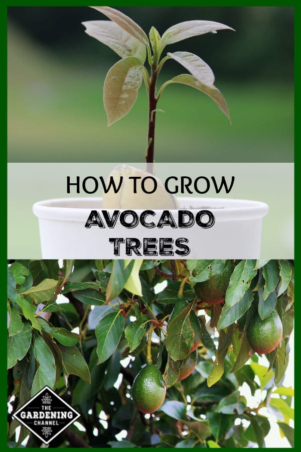 close up of avocado tree in container and close up of avocado tree with text overlay how to grow avocado trees