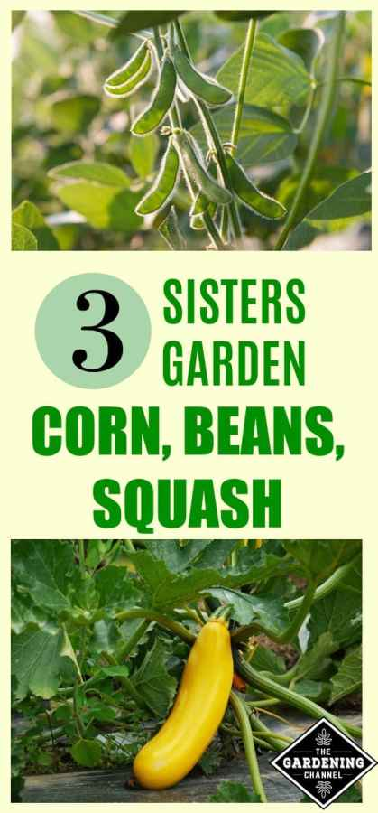 Plant a three sisters garden gardening channel Sisters garden