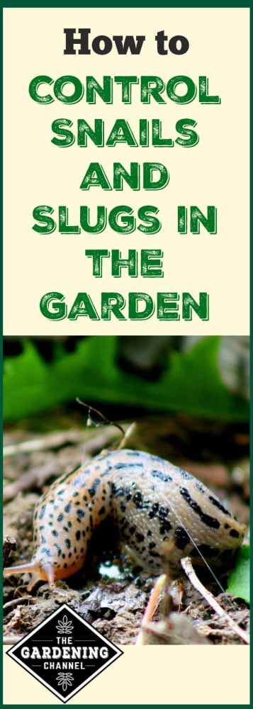 slug in garden with text overlay how to control slugs and snails in the garden