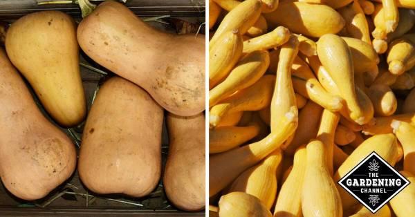 butternut winter squash and summer yellow squash storage