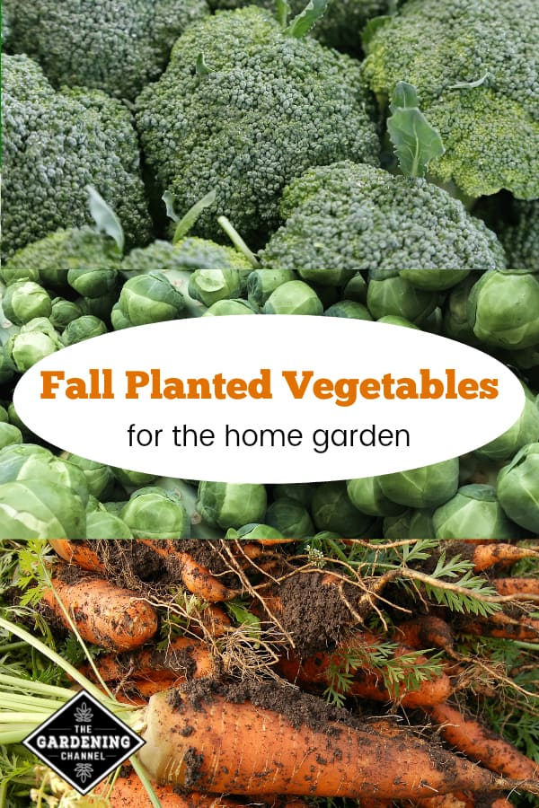 broccoli brussels sprouts carrots with text overlay fall planted vegetables for the home garden