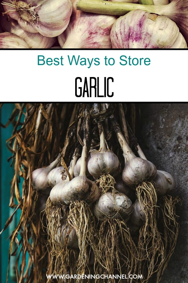 harvested garlic and garlic drying with text overlay best ways to store garlic