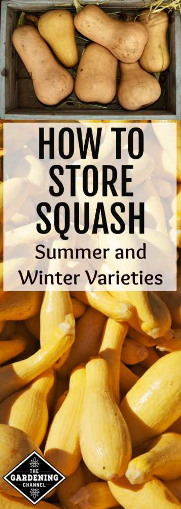 harvested butternut winter squash and yellow summer squash with text overlay how to store squash summer and winter varieties