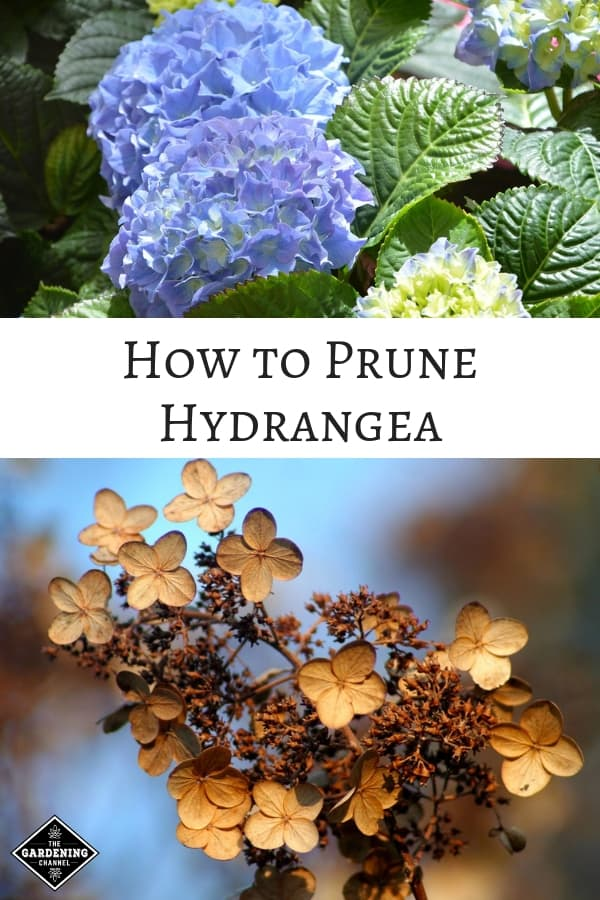 blue hydrangea and dried fall hydrangea bloom with text overlay how to prune hydrangea