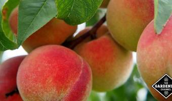 Gorwing Peaches for Health Benefits