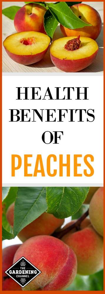 cut fresh peaches and peaches growing on peach tree with text overlay health benefits of peaches