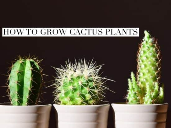 How To Grow Cactus Plants Gardening Channel