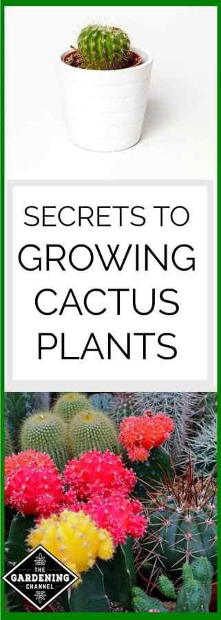 Secrets to growing cactus