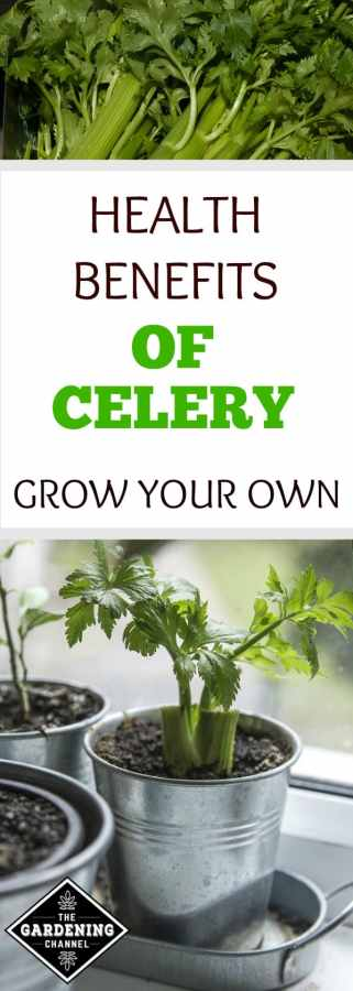 celery health benefits and growing your own