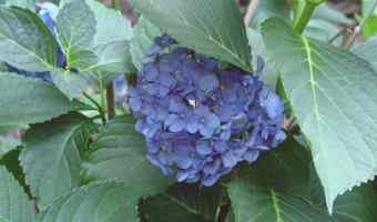 flowering hydrangea plant
