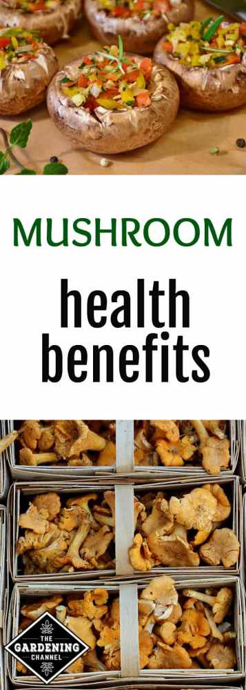 stuffed mushrooms in kitchen chanterelle mushrooms in market with text overlay mushroom health benefits