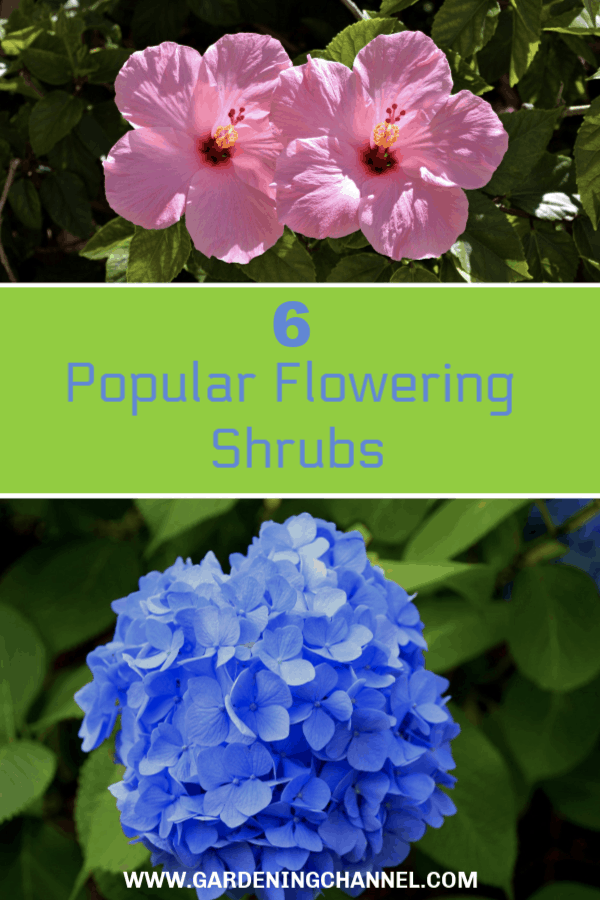 hibiscus and hydrangea with text overlay six popular flowering shrubs