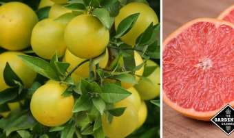 Health Benefits of Grapefruit