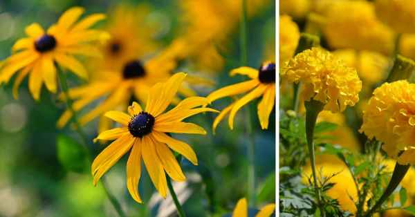 annuals and perennial flowers