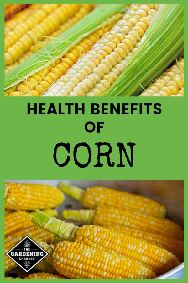 harvested corn and cooking corn cobs with text overlay health benefits of corn