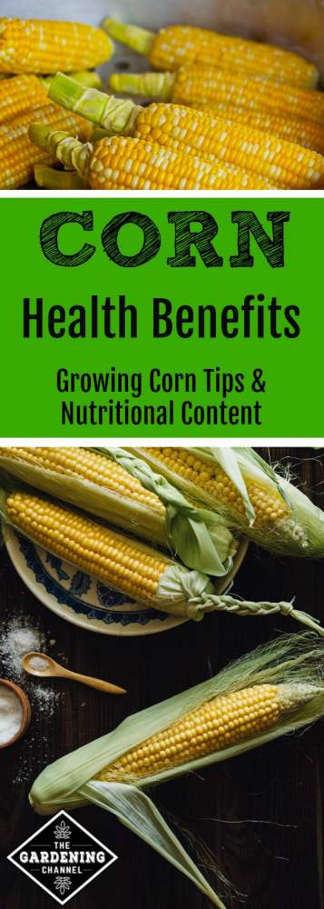 growing corn and its health benefits