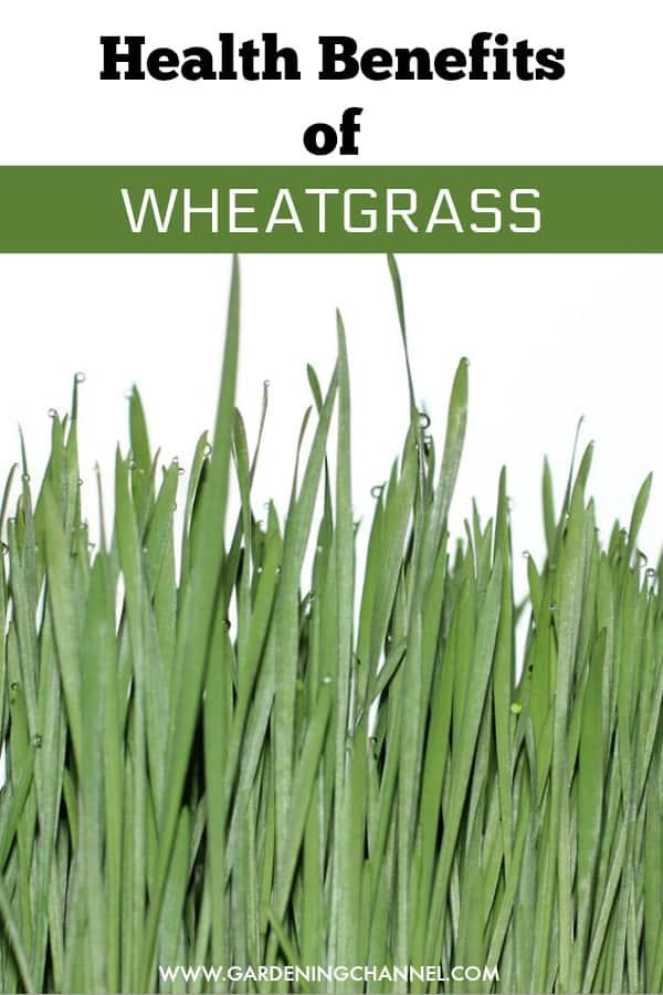wheatgrass with text overlay health benefits of wheatgrass