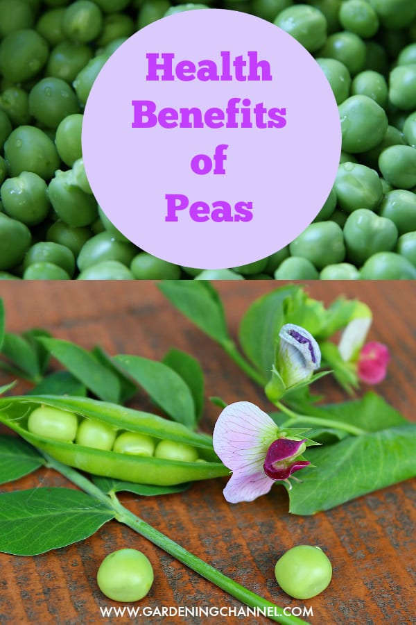 shelled peas and harvested peas with text overlay health benefits of peas