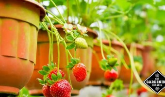 How to Winterize Strawberry Plants